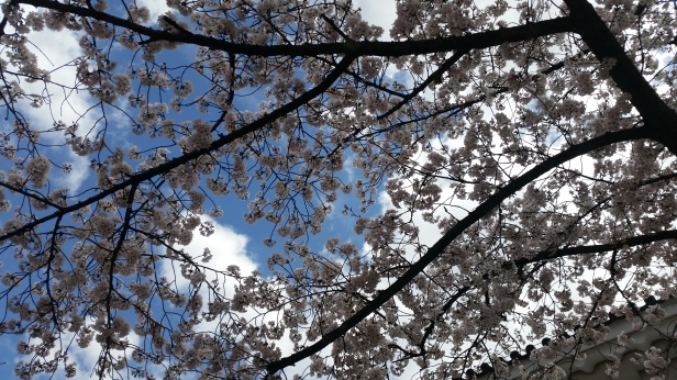 sakura blooms in osaka